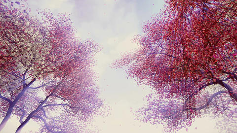 Blossoming cherry trees in sunshine Footage