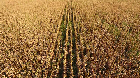 Field with ripe corn. Dry stalks of corn. View of the cornfield from above. Corn plantation, mature Live Action