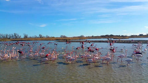 Beautiful pink flamingos walking in shallow water, wild nature, birdwatching Live Action