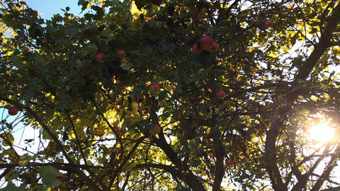 Autumn apples on a tree branch in the garden. Apple tree in the evening Footage