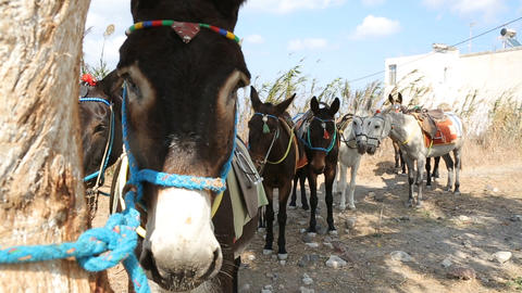 Domestic donkeys standing in row tied up with rope, local means of transport Live Action