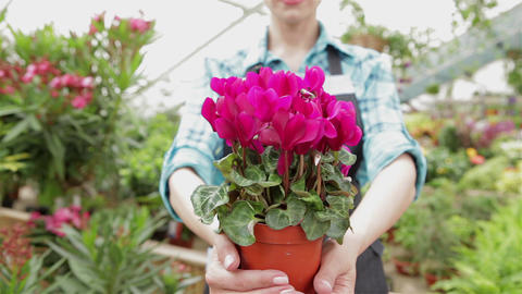 Female florist holds the flowerpot with pink flowers at the garden centre Live Action