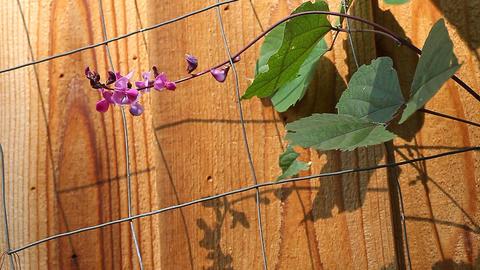 Hyacinth bean flowers Footage