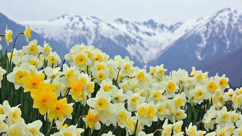 Blooming daffodil meadow in springtime Footage