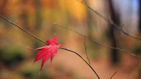 Autumn evening. Lonely red leaf with a blurred autumn background Footage