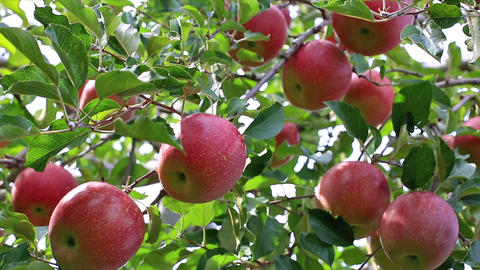 Apple trees with red apples Footage