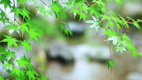 Green leafs in the rain ビデオ