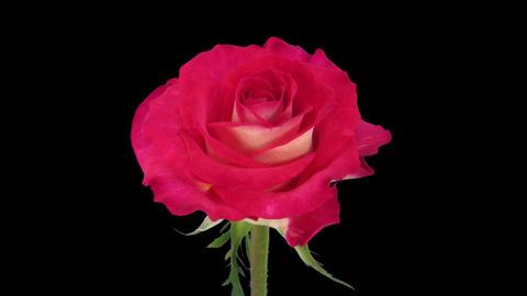 Time-lapse of opening Shanti rose in RGB + ALPHA matte format Footage
