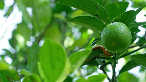 4k pan shot,The gardeners keep lemon fruit on its trees in the garden Footage