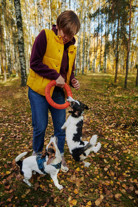 Woman playing with two Jack Russell Photo