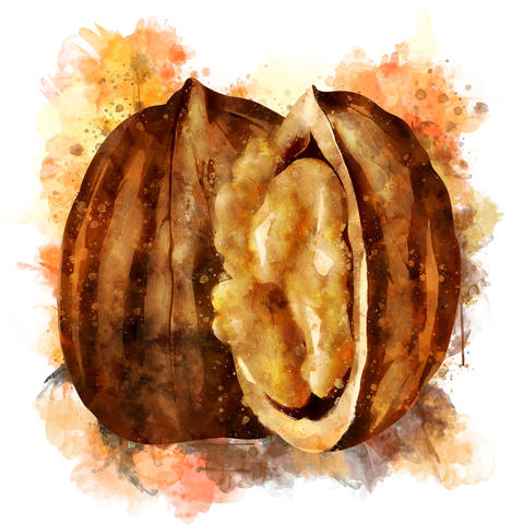 Walnut on white background. Watercolor hand-painted illustration Fotografía