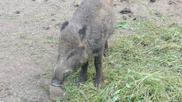 The wild boar eating (Sus scrofa) Live Action