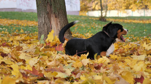 Dog Plays on yellow leaves in the Autumn Forest Footage