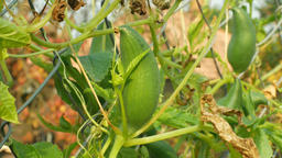 Cyclanthera pedata slipper gourd or stuffing cucumber is a vegetable grown for Footage