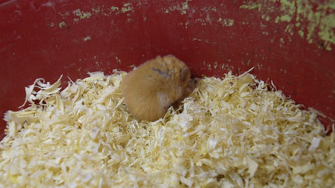 Hamster home in keeping in captivity. Hamster in sawdust.... Stock Video Footage