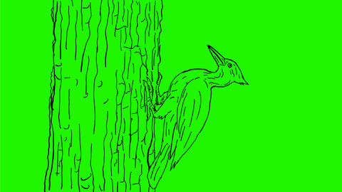 Woodpecker Pecking Drawing 2D Animation Animation