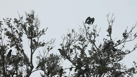 Flock of crows in the trees Footage
