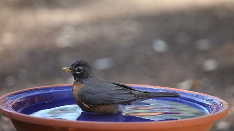Robin bathes on a hot day Footage
