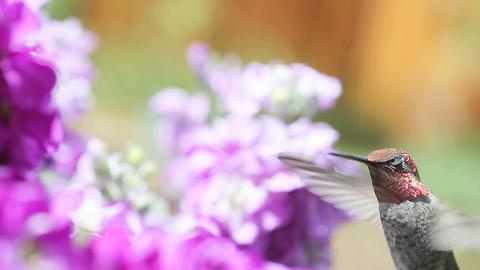 Hummingbird with purple flowers Footage