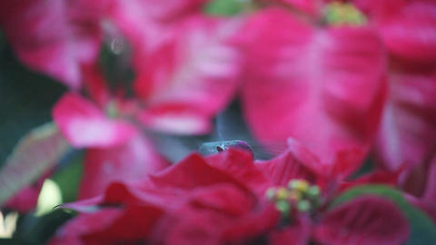 Hummingbird surrounded by Christmas poinsettias Footage