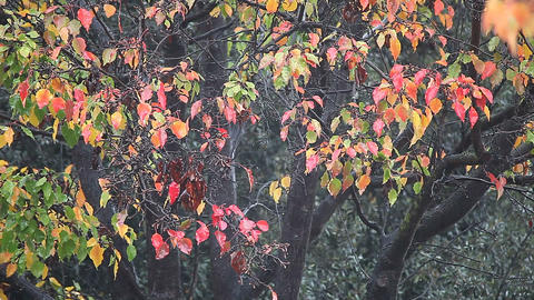 Colorful fall leaves in heavy rain Footage