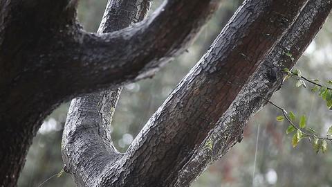 Rain on an oak tree Footage