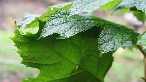 Oakleaf hydrangea in rain Footage