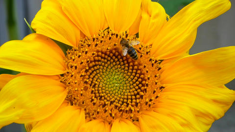 bee tring to find the best pollen on the head of sunflower Footage