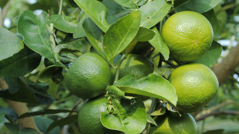 Close up shot fresh and nature unripe green lemon on the tree, green lime in Live Action