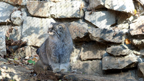 Manul or Pallas cat, Otocolobus manul, cute wild cat from Asia Footage