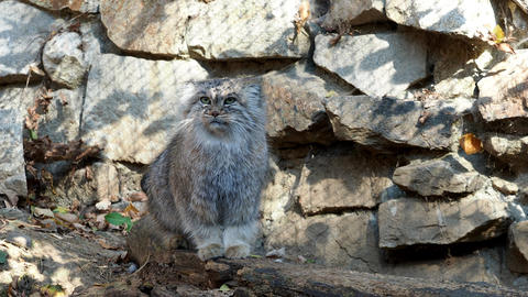 Manul or Pallas cat, Otocolobus manul, cute wild cat from… Stock Video Footage