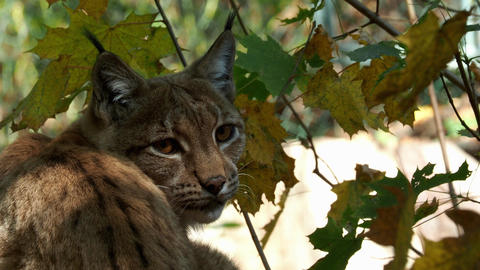 Eurasian Lynx and autumn leaves in background (scientific name Lynx lynx) Footage