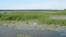 Druzno Lake, Elblag, Poland. Birds reserve Live Action