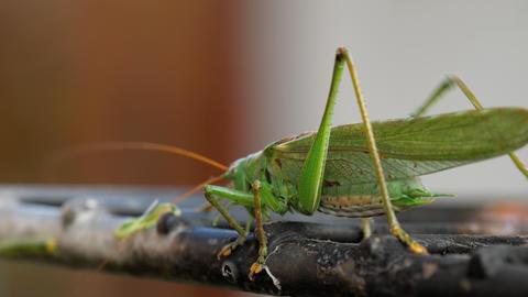 Big green locust male GIF