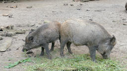 The wild boars eating (Sus scrofa) Live Action