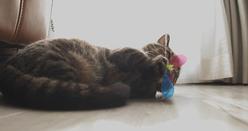 Cat plays toy in the house deep focus ライブ動画