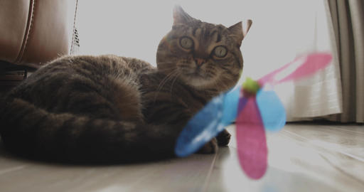 Cat plays toy in the living room deep focus ライブ動画
