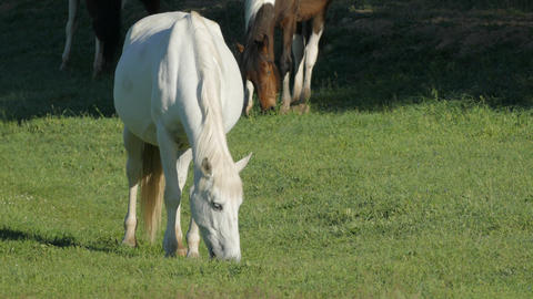 Wild Horses In The Early Morning Grazing In A Green Meadow Footage