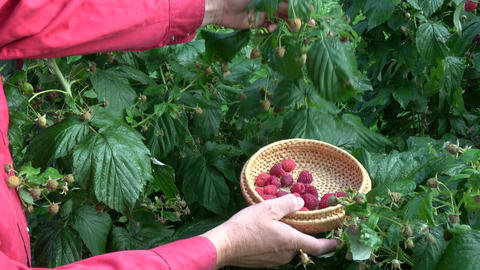 Gardener picking harvesting ripe sweet healthy raspberries Archivo