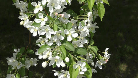 Flowers of the Apple-tree white color Footage