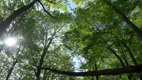 Wind that moves the green leaves of beech forest in the middle of a hot summer d Footage