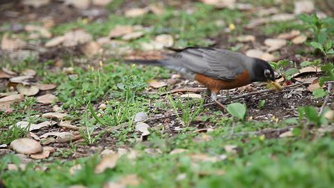 Robin digs for food in backyard Footage