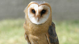 Barn owl portrait. Tyto alba. Bird of prey Live Action