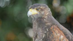 Harris's hawk portrait. Zoom out shot. Parabuteo unicinctus. Bird of prey Live Action