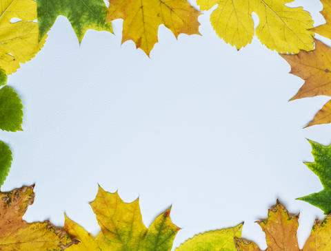 yellow and green leaves of maple and mulberry Photo