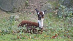 Young, baby alpaca. Vicugna pacos Footage