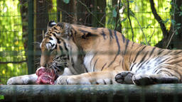 The Siberian tiger eats raw meat. Wild animals in captivity 4 Footage