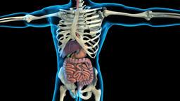 3D Animated medical Human Internal Organs Archivo