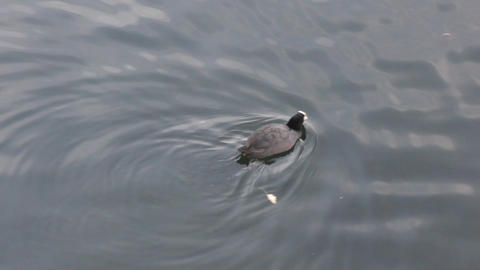 Coot (Fulica atra) dives and feeds in clear water Live Action