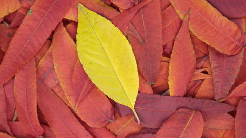 Rotation of the background of red leaves and one yellow leaf. View from above Footage